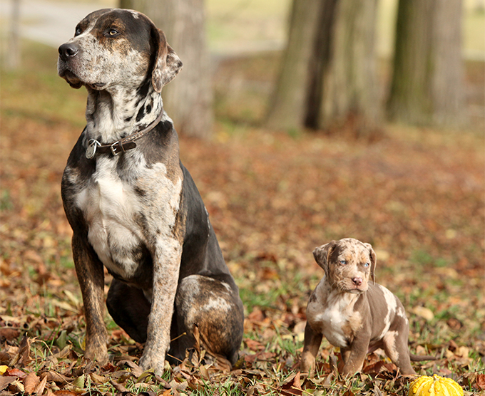Catahoula Cur Catahoula Leopard Facts Pictures Puppies