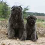 Bouvier de Ardennes – Facts, Pictures, Puppies, Temperament, Breeders, Price