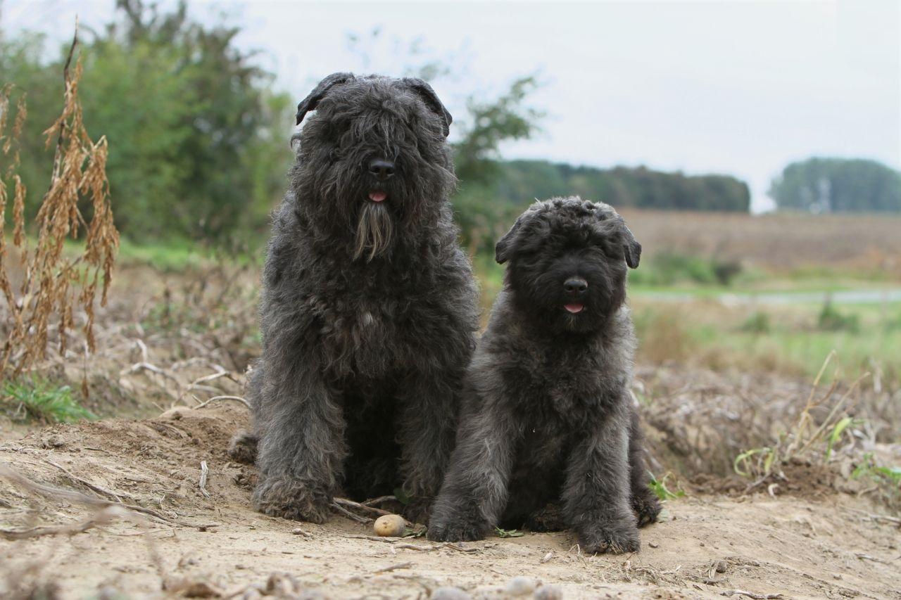 Bouvier De Ardennes Facts Pictures Puppies