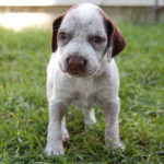 Braque du Bourbonnais – Facts, Pictures, Puppies, Temperament, Breeders, Price