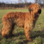 Briard – Facts, Pictures, Puppies, Temperament, Breeders, Price