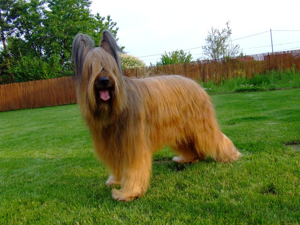 Briard Facts Shedding Pictures Puppies Temperament