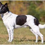 Canaan Dog – Facts, Pictures, Puppies, Temperament, Breeders, Price
