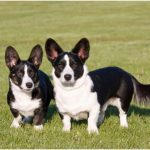 Cardigan Welsh Corgi – Facts, Pictures, Puppies, Temperament, Breeders, Price
