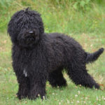 Barbet – Facts, Pictures, Puppies, Temperament, Breeders, Price