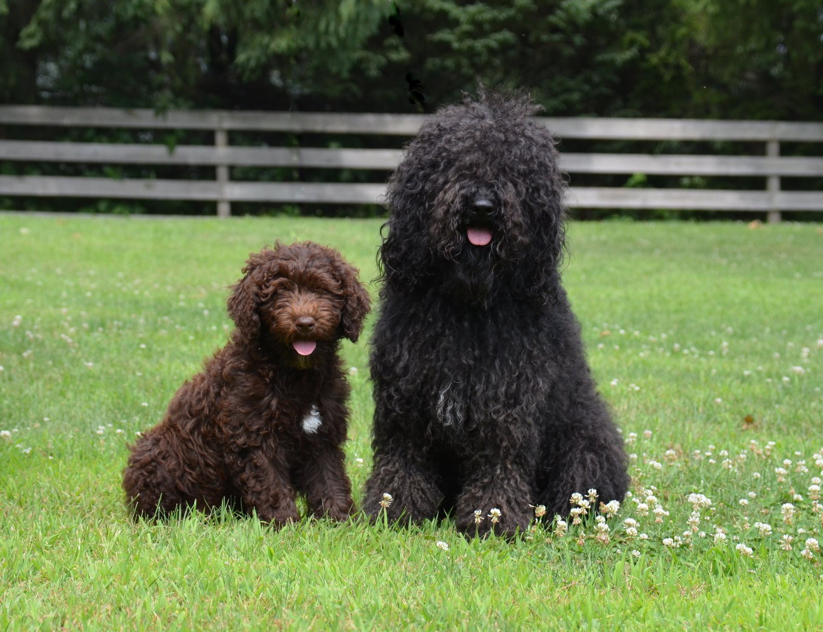 Barbet Dog Facts For Kids Pictures Puppies Temperament