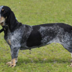 Basset Bleu de Gascogne – Facts, Pictures, Puppies, Temperament, Breeders, Price