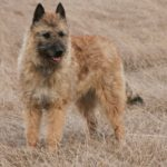 Laekenois (Belgian Shepherd Laekenois) – Facts, Pictures, Puppies, Temperament, Breeders, Price