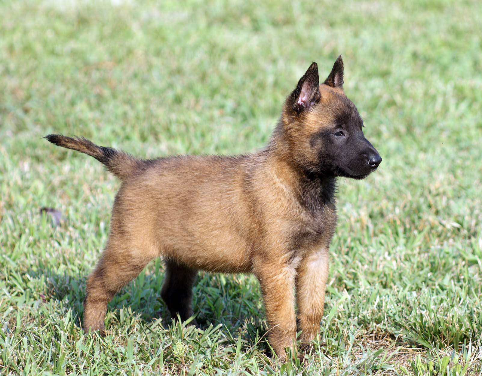 What Kind Of Mix Breed Are The Police Dogs