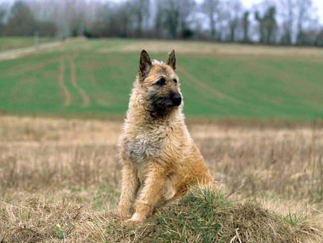 Laekenois Belgian Shepherd Laekenois Facts Pictures