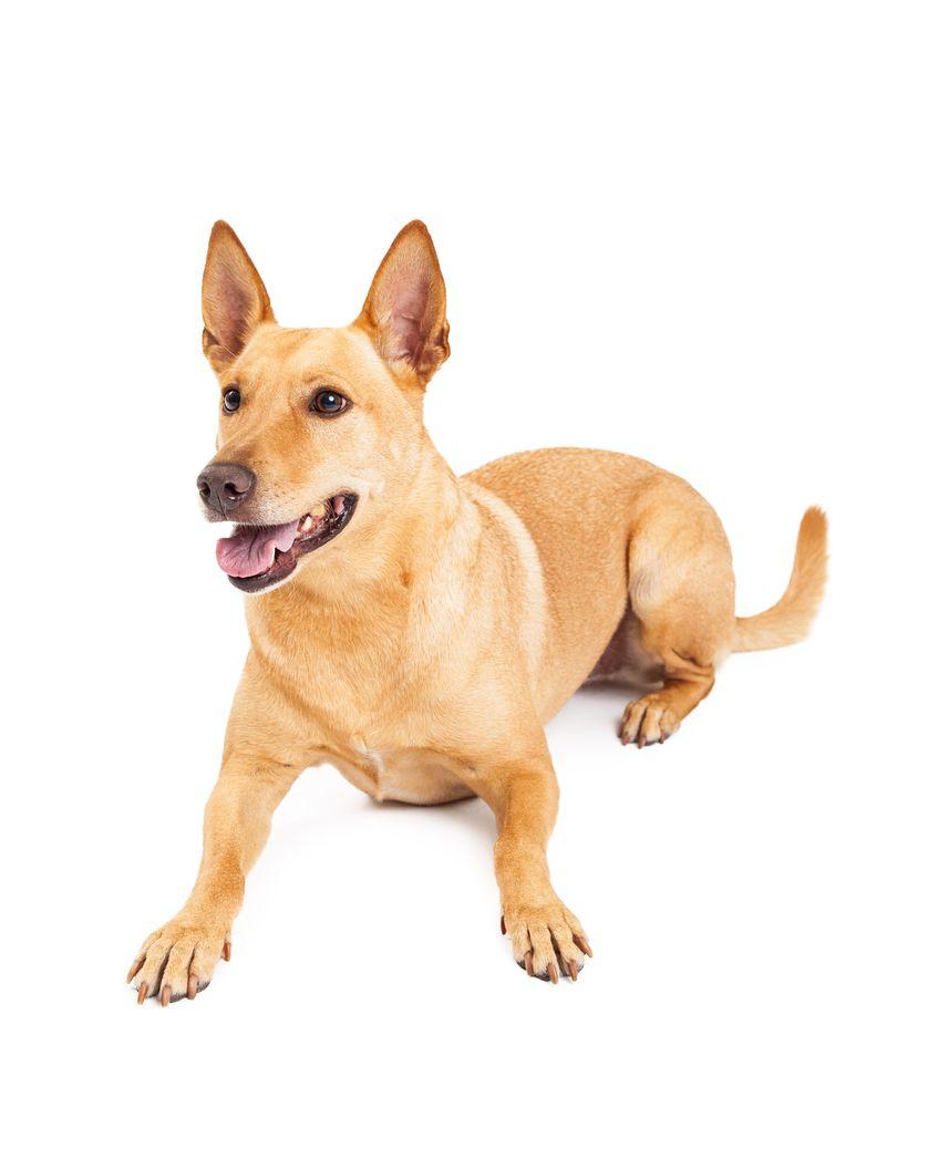 Carolina Dog Facts Pictures Puppies Temperament Breeders