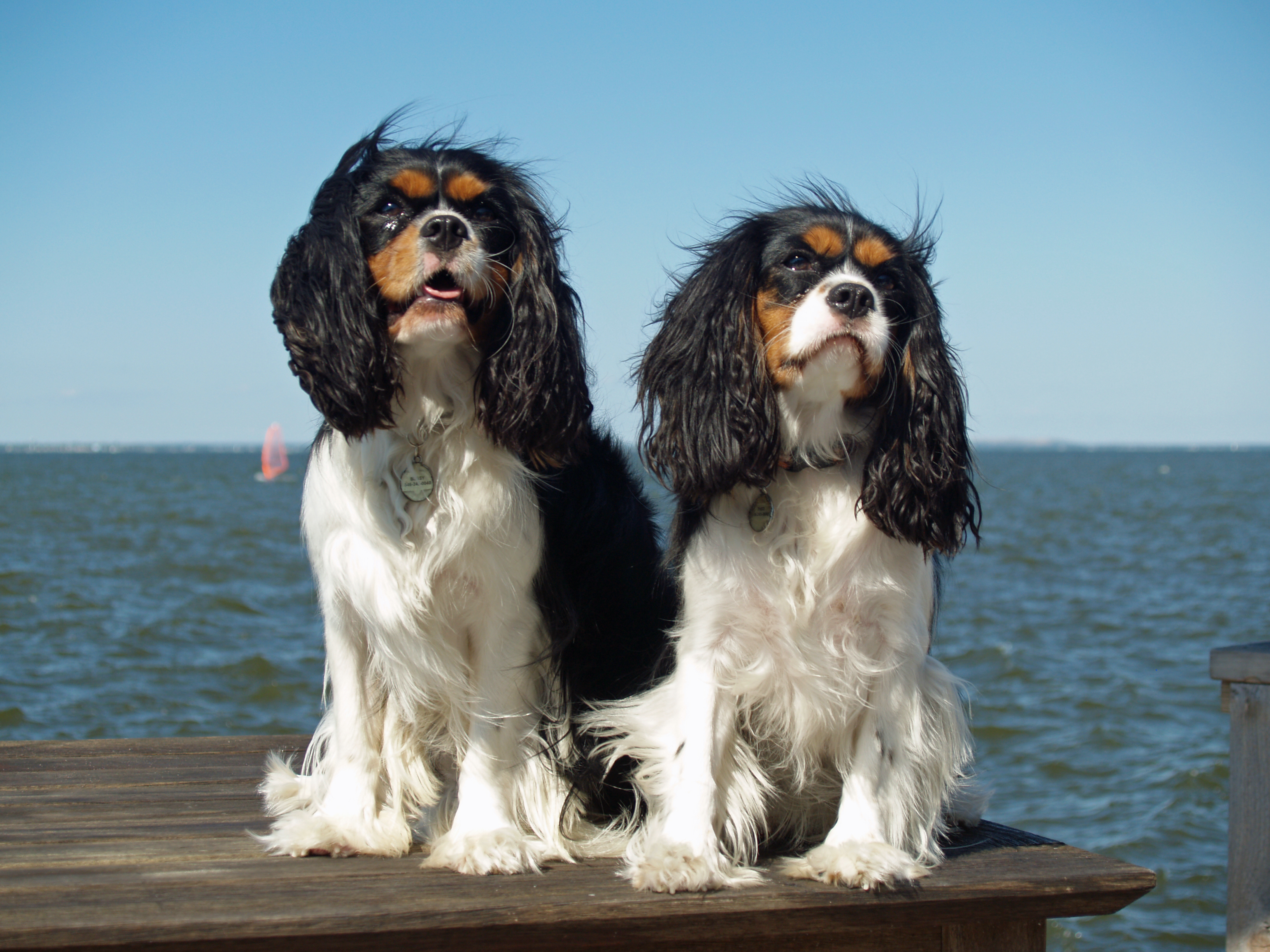Cavalier king charles spaniel facts pictures puppies cavalier king charles spaniel nvjuhfo Choice Image