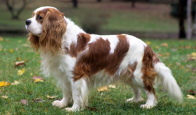 Cavalier King Charles Spaniel Dogs For Sale Victoria