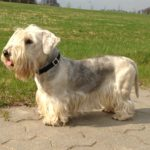 Cesky Terrier – Facts, Pictures, Puppies, Temperament, Breeders, Price