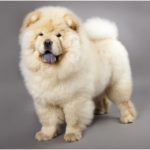 Chow Chow – Facts, Pictures, Puppies, Temperament, Breeders, Price