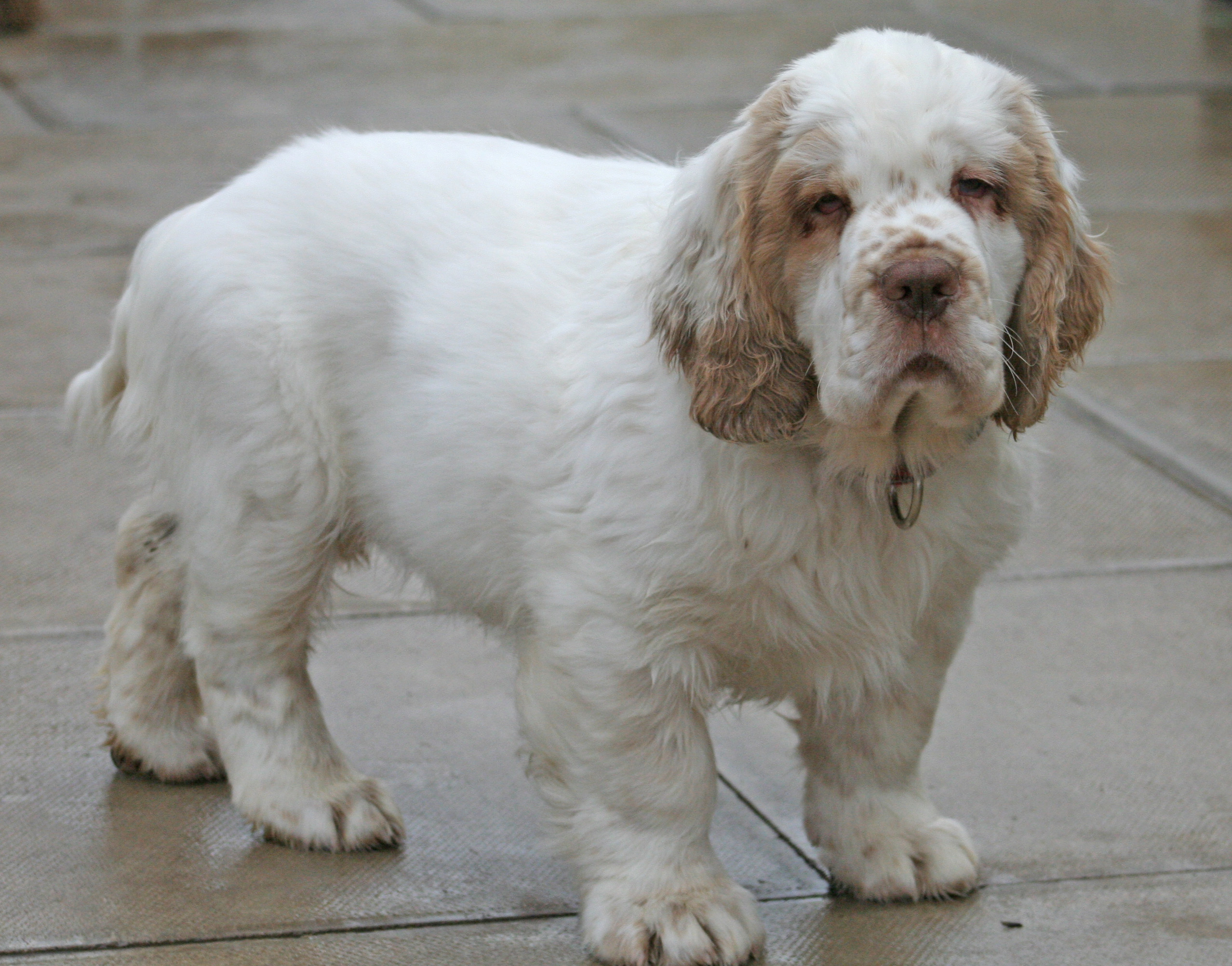 Clumber Spaniel Facts Pictures Puppies Temperament