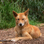 Dingo – Facts, Pictures, Puppies, Temperament, Breeders, Price