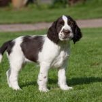 English Springer Spaniel – Facts, Pictures, Puppies, Temperament, Breeders, Price