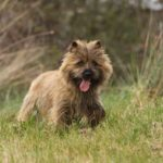 Cairn Terrier – Facts, Pictures, Puppies, Temperament, Breeders, Price