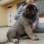 Caucasian Shepherd Dog – Facts, Pictures, Puppies, Temperament, Breeders, Price