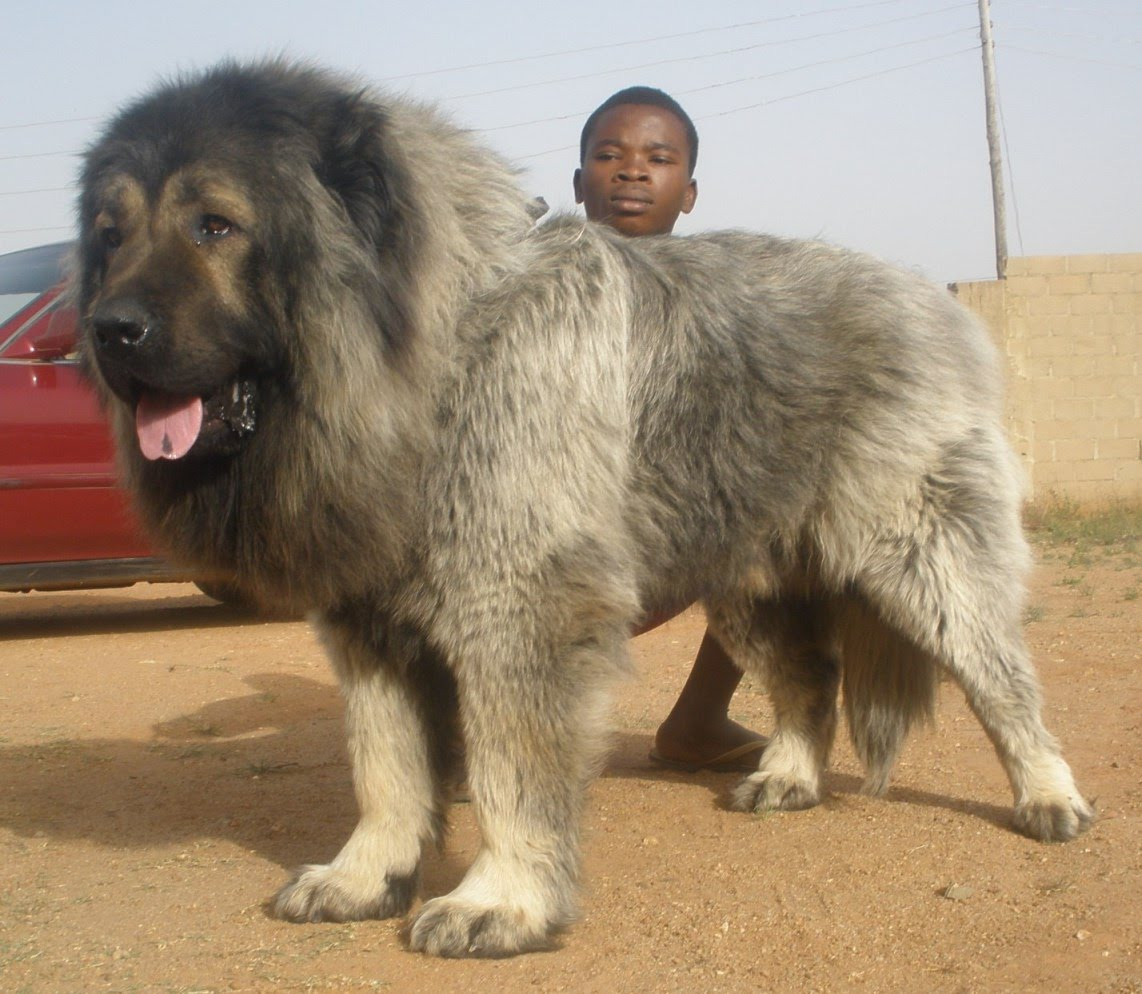 Caucasian Shepherd Dog - Facts, Pictures, Puppies ...