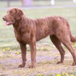 Chesapeake Bay Retriever – Facts, Pictures, Puppies, Temperament, Breeders, Price