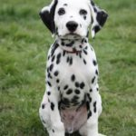 Dalmatian Dog – Facts, Pictures, Puppies, Temperament, Breeders, Price