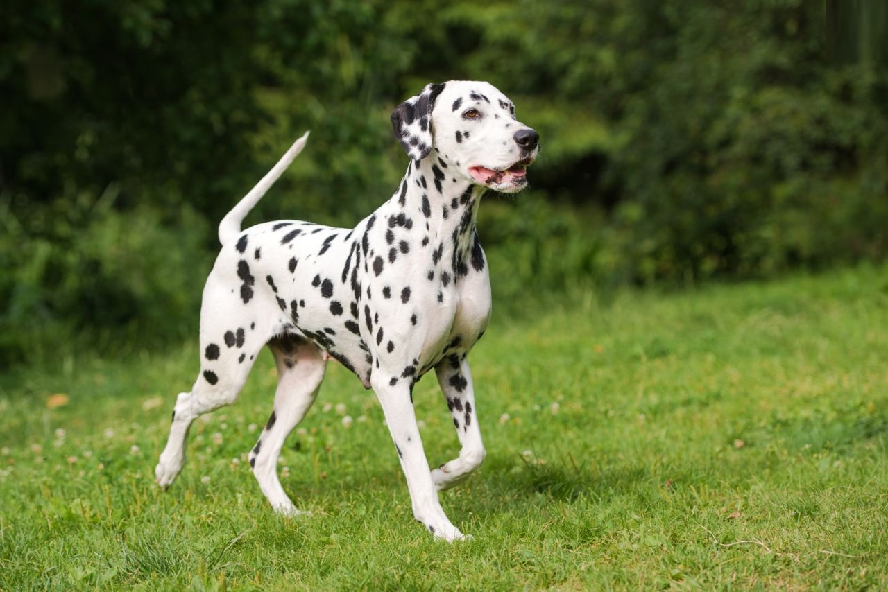 Dalmatian Dog Training