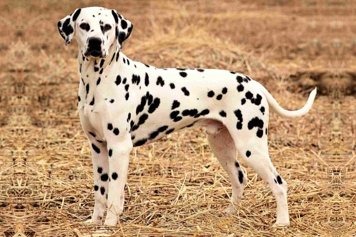 Dalmatian Facts Pictures Puppies Temperament Breeders Price