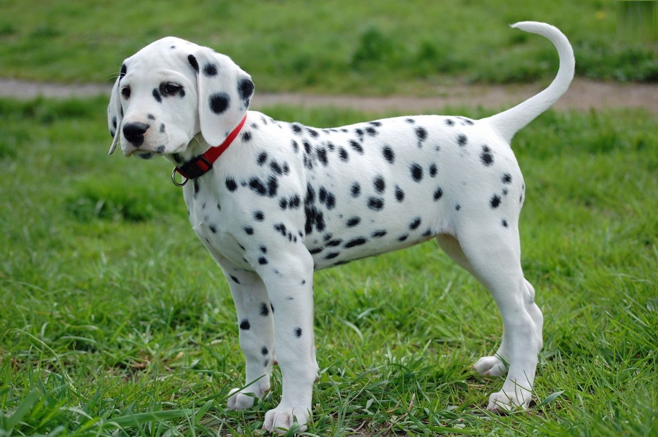 Spotted Dogs For Sale