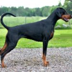 Doberman Pinscher – Facts, Pictures, Puppies, Temperament, Breeders, Price