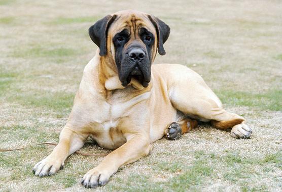 English Mastiff - Facts, Pictures, Puppies, Temperament
