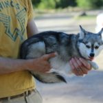 Alaskan Klee Kai – Facts, Pictures, Puppies, Temperament, Breeders, Price