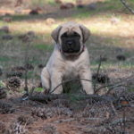 American Mastiff – Facts, Pictures, Puppies, Temperament, Breeders, Price