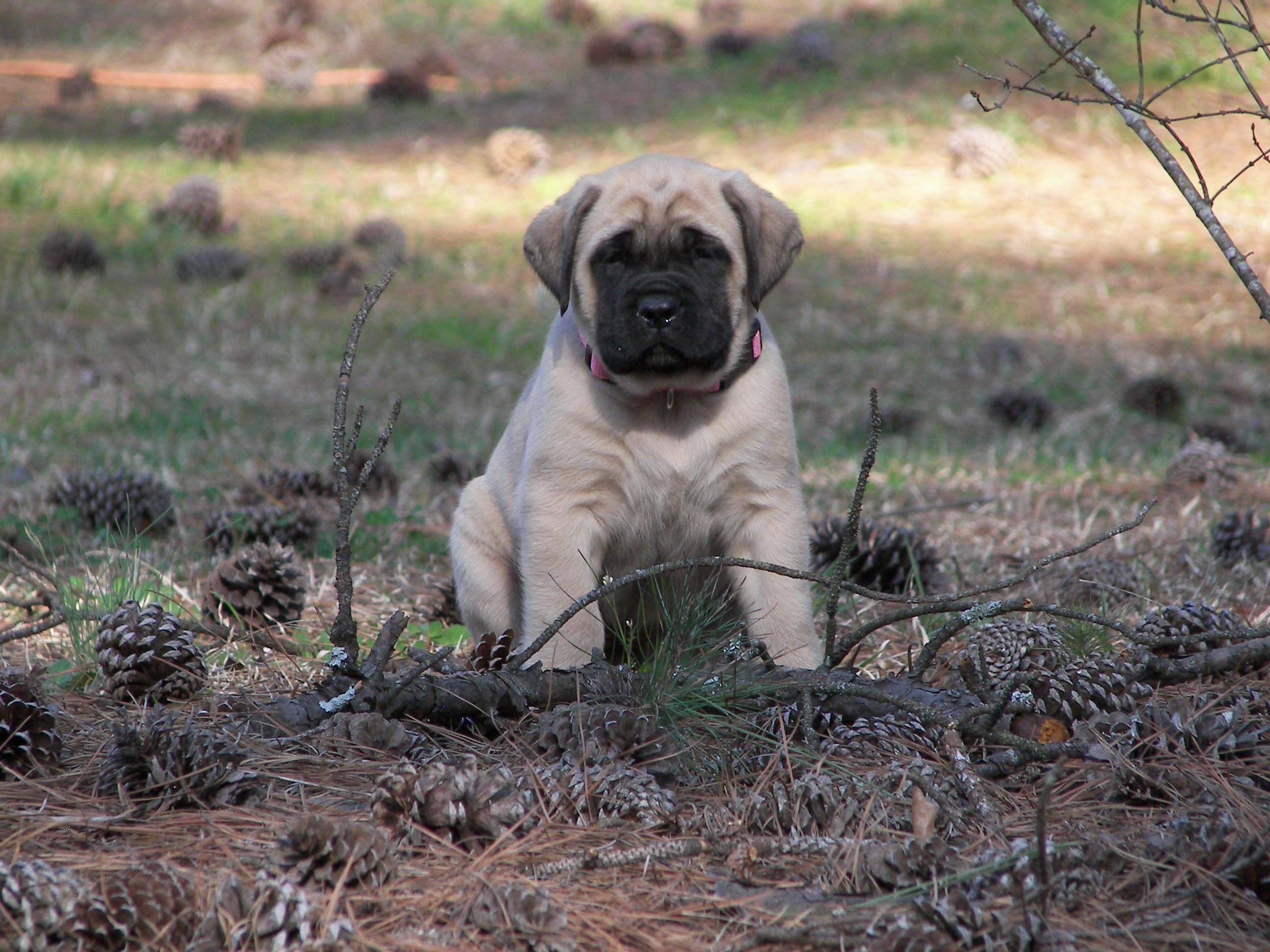 American Mastiff Facts Pictures Puppies Temperament Breeders