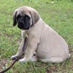 American Mastiff