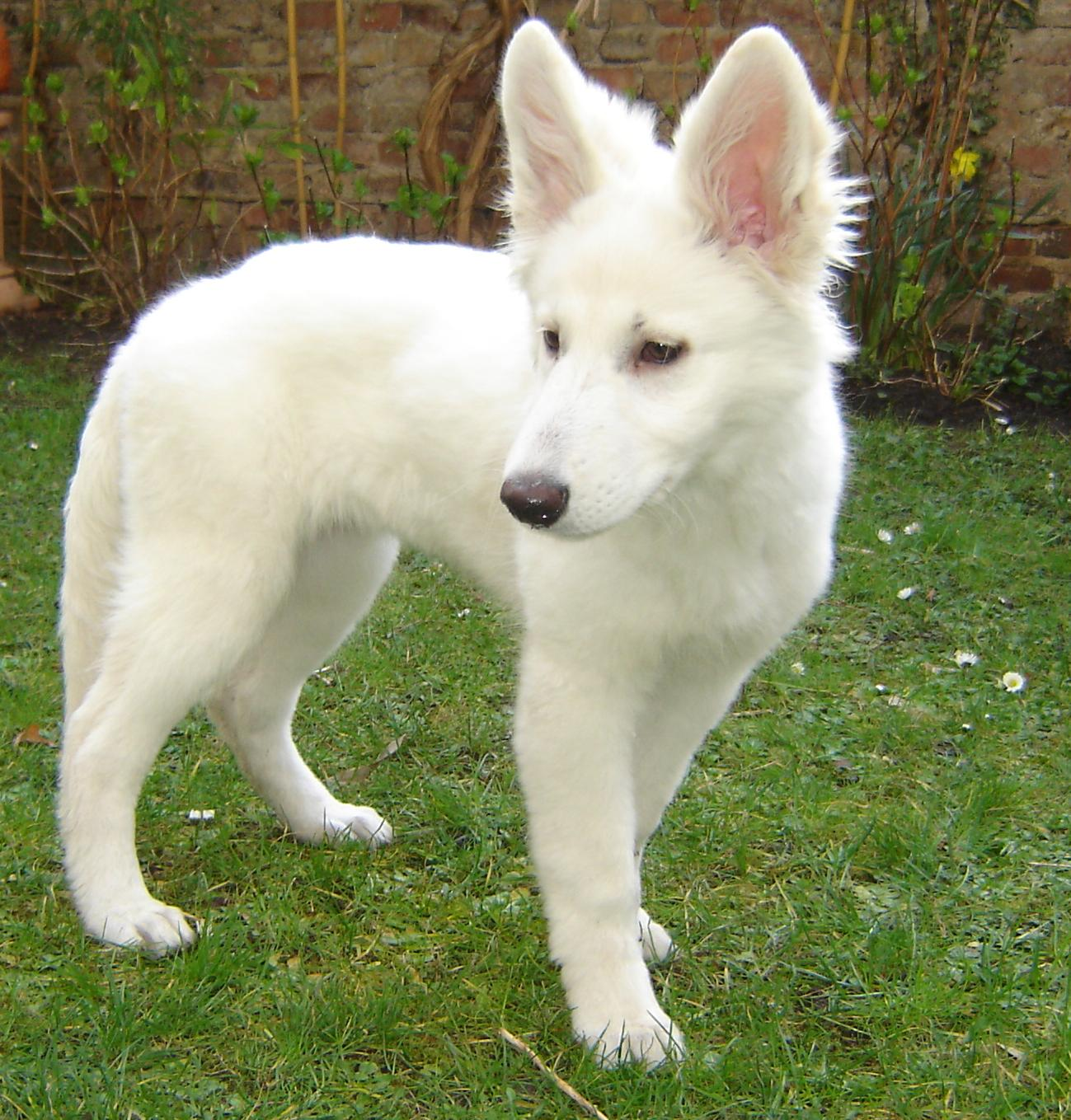 American White Shepherd Facts Pictures Puppies Temperament
