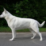 American White Shepherd
