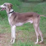 Mudhol Hound (Caravan Hound) – Facts, Pictures, Puppies, Temperament, Breeders, Price