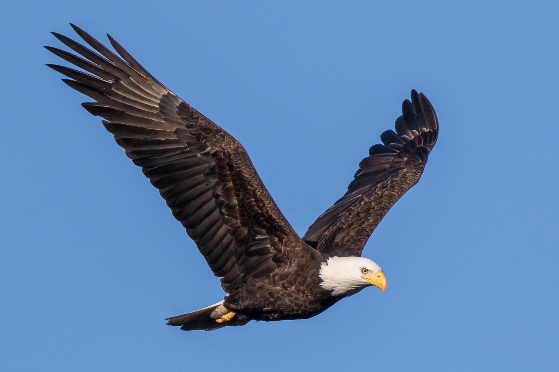 Physical characteristics of a bald eagle