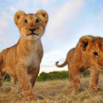Lion – Pictures, Facts, Appearance, Diet, Behavior, Lifestyle