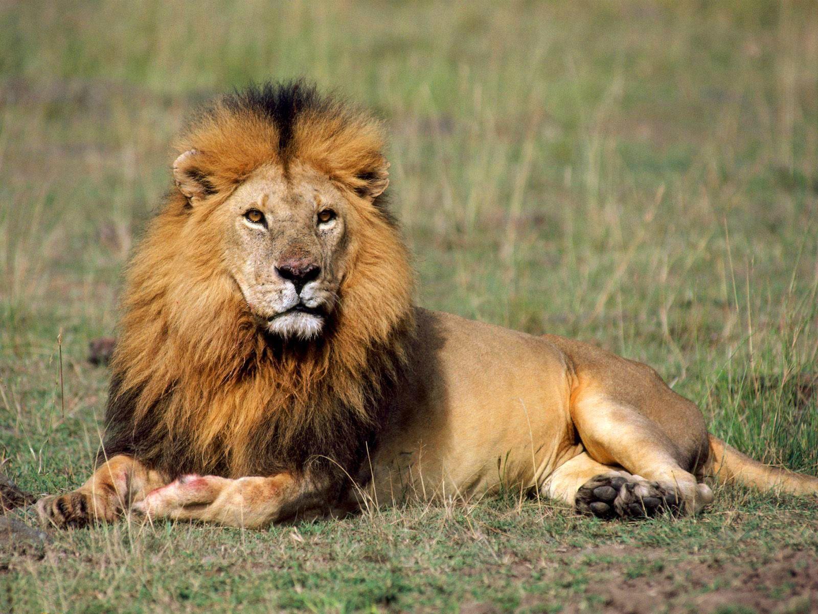 Hewan Singa