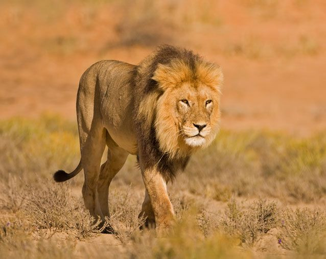 lion pictures facts appearance diet behavior lifestyle