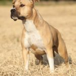 American Staffordshire Terrier – Facts, Pictures, Puppies, Temperament, Breeders, Price