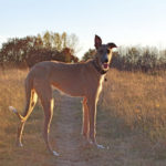 American Staghound – Facts, Pictures, Puppies, Temperament, Breeders, Price