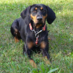 Austrian Black and Tan Hound – Facts, Pictures, Puppies, Temperament, Breeders