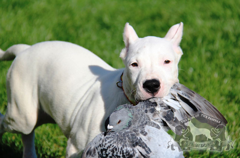 Dogo Argentino Facts Pictures Puppies Temperament