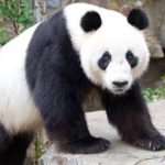 Giant Panda – Facts, Diet, Habitat, Behaviour, Breeding, Pictures, Characteristics