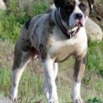 Alapaha Blue Blood Bulldog – Facts, Pictures, Puppies, Temperament, Breeders