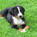 Appenzeller Sennenhund – Facts, Pictures, Puppies, Temperament, Breeders